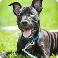 Adopt A Pet :: Darla Healy - Lancaster, PA