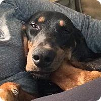 Adopt A Pet :: Waylon - Austin, TX