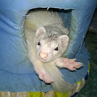 Ferret for adoption in Spokane Valley, Washington - Ferret