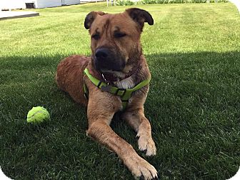 Labrador Retriever Mix Dog for adoption in Detroit, Michigan - Marco-Adopted!