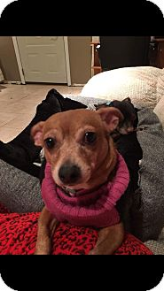 Chihuahua Mix Dog for adoption in Bucks County, Pennsylvania - Sassy