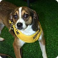 Adopt A Pet :: Hampton Adorable Perfect Sized Boy - Rowayton, CT