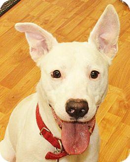 Pit Bull Terrier Mix Dog for adoption in Waynesboro, Pennsylvania - Axel