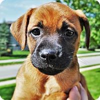 Adopt A Pet :: Sauvee *Jasmine's Puppy* - Gretna, NE