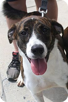 Plott Hound Mix Dog for adoption in Rockville, Maryland - Foxy