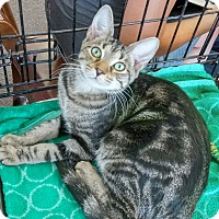Domestic Shorthair Kitten for adoption in Columbus, Ohio - Sloan