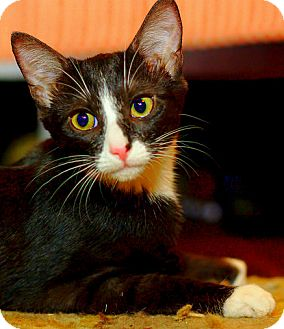 Domestic Shorthair Kitten for adoption in Huntsville, Alabama - Skye