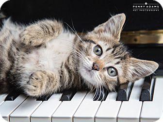 Bengal Kitten for adoption in Nashville, Tennessee - Oslo