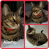 Adopt A Pet :: Alamo - Arlington/Ft Worth, TX