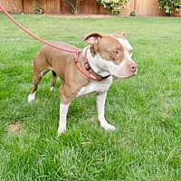 Adopt A Pet :: ABBY (Bellevue) active girl w/loving nature - Bainbridge Island, WA