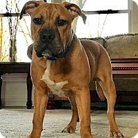 Adopt A Pet :: Tank - Schaumburg, IL