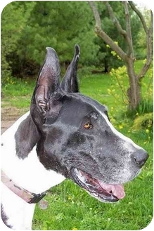 Great Dane Dog for adoption in Woodstock, Illinois - Hollywood