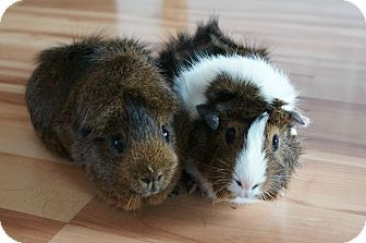 Guinea Pig for adoption in Brooklyn Park, Minnesota - Junior