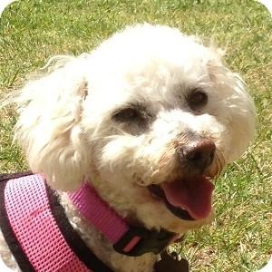 Bichon Frise Mix Dog for adoption in La Costa, California - Bonnie