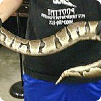Adopt A Pet :: 3 BALL PYTHONS - HOUSTON, TX