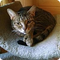 Domestic Shorthair Cat for adoption in Toledo, Ohio - Morgan