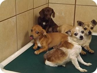 Chihuahua/Dachshund Mix Dog for adoption in Thomaston, Georgia - Hershey Minitures