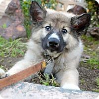 Adopt A Pet :: Emerson - Los Angeles, CA