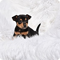 Adopt A Pet :: Chrissy - Groton, MA