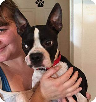 Boston Terrier Dog for adoption in Weatherford, Texas - Merlyn