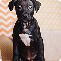 Adopt A Pet :: Huck - Portland, OR
