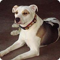 Adopt A Pet :: Lulu - Tucson, AZ