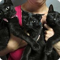Adopt A Pet :: Winkin', Blinkin' and Nod: Bombay Mix Kittens - Brooklyn, NY