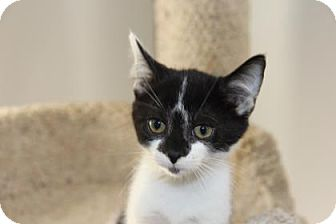 Domestic Shorthair Kitten for adoption in Greensboro, North Carolina - Little Bit