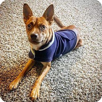 Basenji/Chihuahua Mix Dog for adoption in Princeton, Minnesota - Blue