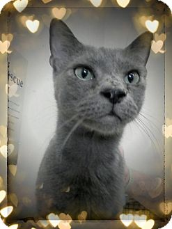 Russian Blue Cat for adoption in Trevose, Pennsylvania - Woodstock