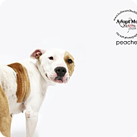 Adopt A Pet :: Peaches-ADOPT Me! - Redondo Beach, CA