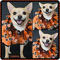 Adopt A Pet :: Cardinal - Phoenix, AZ