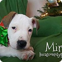 American Pit Bull Terrier/American Bulldog Mix Puppy for adoption in Toledo, Ohio - Miranda