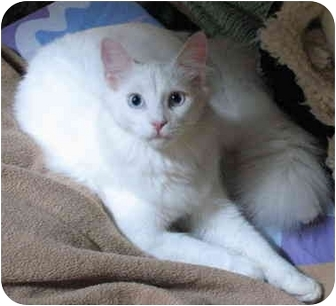 Domestic Longhair Cat for adoption in Cincinnati, Ohio - Snowball
