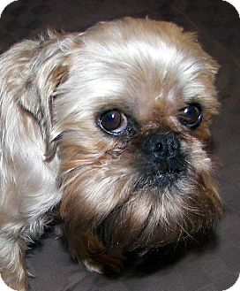 Brussels Griffon Dog for adoption in Burneyville, Oklahoma - HARLEY- ADOPTION PENDING