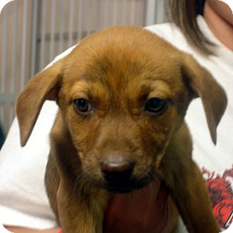 Beagle/Feist Mix Puppy for adoption in baltimore, Maryland - Meisha
