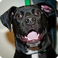 Bull Terrier/German Shorthaired Pointer Mix Dog for adoption in Norman, Oklahoma - Theo