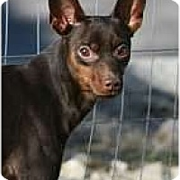 Miniature Pinscher Dog for adoption in Columbus, Ohio - Presley