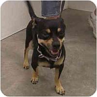 Adopt A Pet :: Ringo - Phoenix, AZ