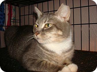 Domestic Shorthair Cat for adoption in Chesapeake, Virginia - Baby Girl