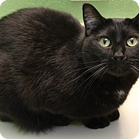 Domestic Shorthair Cat for adoption in Grinnell, Iowa - Paws