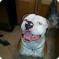 Adopt A Pet :: Capone - Coral Springs, FL