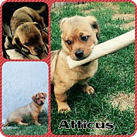 Adopt A Pet :: Atticus - bridgeport, CT