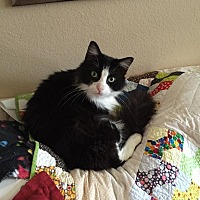 Adopt A Pet :: Kitty - Friendswood, TX