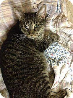 Domestic Shorthair Cat for adoption in Blasdell, New York - Marshall Lee