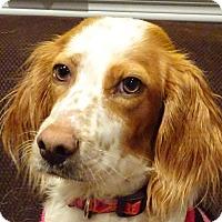 Adopt A Pet :: PIXIE - Pine Grove, PA