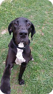 Great Dane Dog for adoption in Raleigh, North Carolina - Sadie