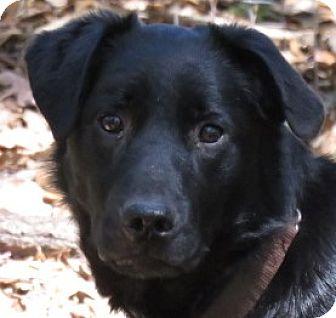Flat-Coated Retriever/Labrador Retriever Mix Dog for adoption in St Petersburg, Florida - Shy!  Affectionate!