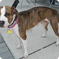 Pit Bull Terrier/Beagle Mix Dog for adoption in Umatilla, Florida - Ginger