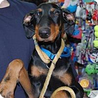 Adopt A Pet :: Dobby - Brooklyn, NY